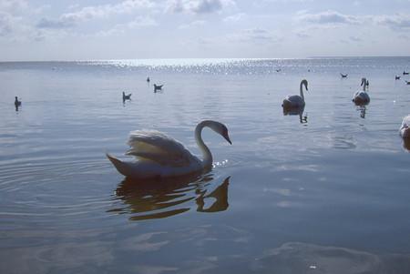 Лебеди — пожалуй, самые популярные обитатели Куршского залива