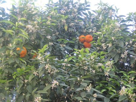 Цветущие цитрусовые