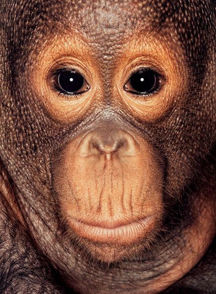 Серия портретов обезьян от Джеймса Моллисона — фото 11