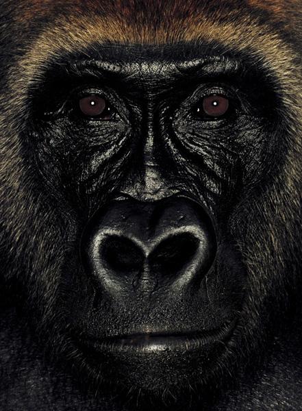 Серия портретов обезьян от Джеймса Моллисона — фото 12