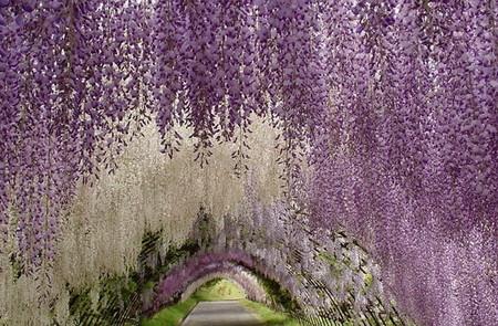Японцы часами могут любоваться тоннелями парка Асикага, вдыхая нежный аромат