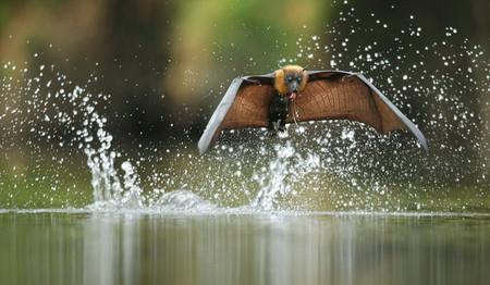 Редкий кадр: летучая мышь спускается к воде в дневное время. Автор — Ofer Levy