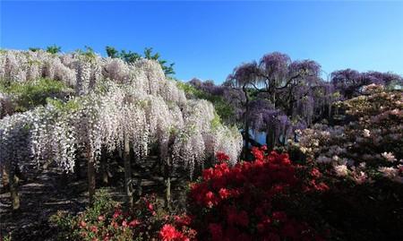 Нежная красота глициний парка Асикага — фото 2