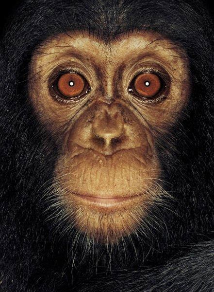 Серия портретов обезьян от Джеймса Моллисона — фото 9