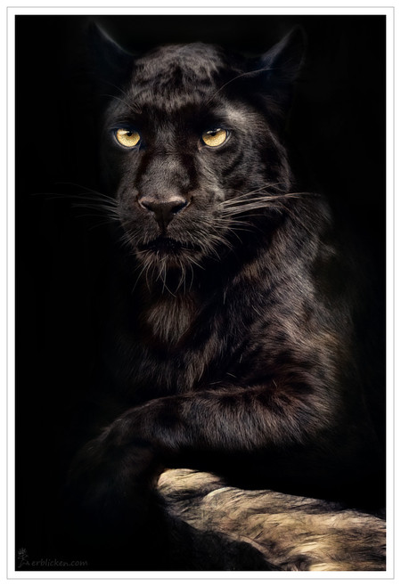 Потрясающий снимок пантеры