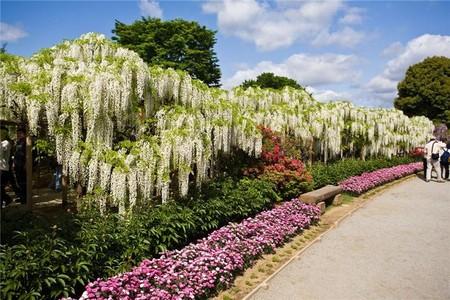 Нежная красота глициний парка Асикага — фото 5