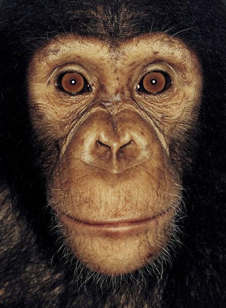 Серия портретов обезьян от Джеймса Моллисона — фото 7
