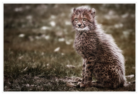 Малыш-гепард