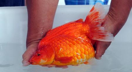 Необычный конкурс красоты в Китае: выбираем самую золотую рыбку — фото 5