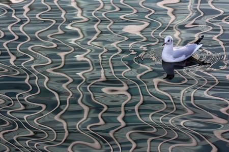 Чайка в лондонском пруду. Автор — Eve Tucker