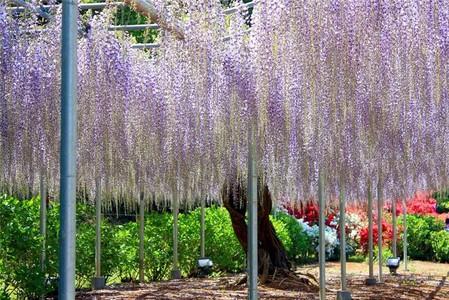 Нежная красота глициний парка Асикага — фото 6