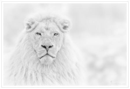 Снежный лев — редкий красавец во всех смыслах слова!