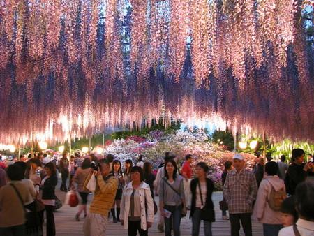 Нежная красота глициний парка Асикага — фото 9