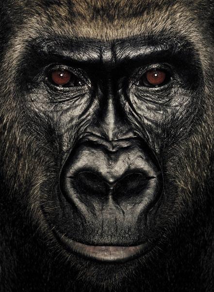 Серия портретов обезьян от Джеймса Моллисона — фото 13