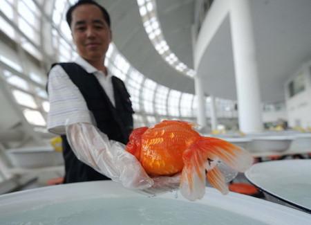 Можно поспорить, но именно эта рыбка была признана самой золотой и самой грациозной среди самых крупных и самых длинных :-)