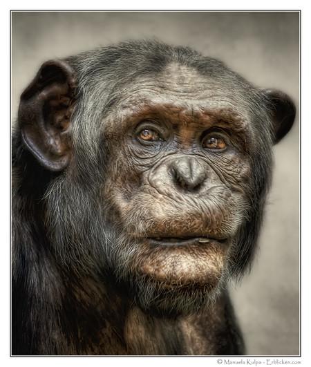 Этому шимпанзе 40 лет