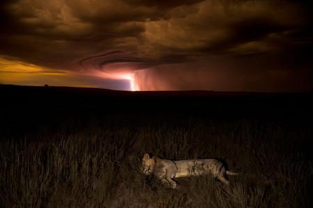 Отдыхающий лев, пустыня Калахари. Автор — Hannes Lochner