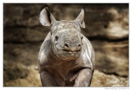 А так выглядит детеныш белого носорога