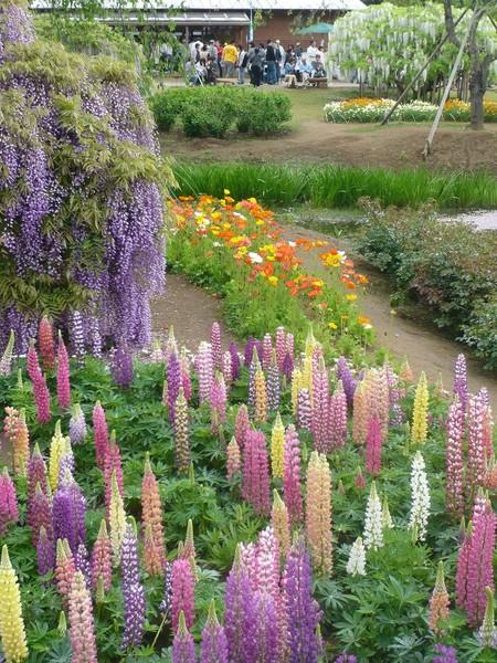 Нежная красота глициний парка Асикага — фото 7