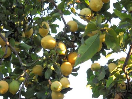 Лимоны в январе