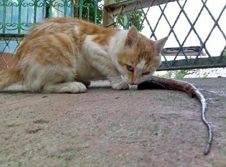 Морской кот получил свою часть добычи, хвост ската