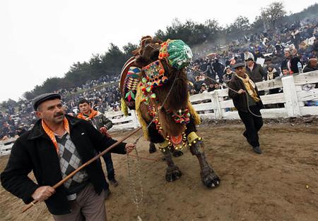 Верблюжьи бои в Турции. — фото 3