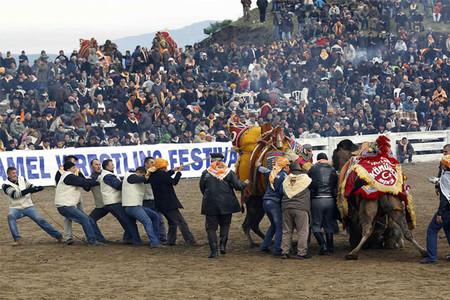 Верблюжьи бои в Турции. — фото 8