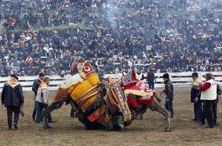 Верблюжьи бои в Турции. — фото 6