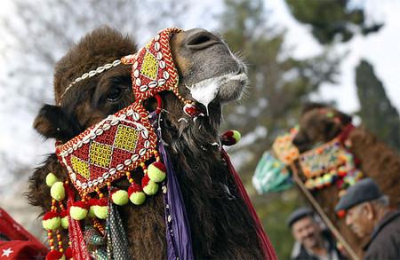 Верблюжьи бои в Турции. — фото 9