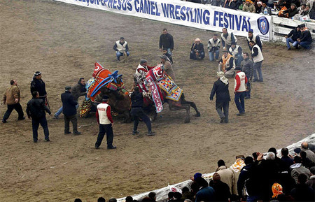 Верблюжьи бои в Турции. — фото 5
