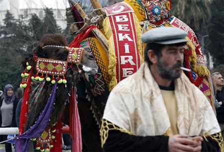Верблюжьи бои в Турции. — фото 11