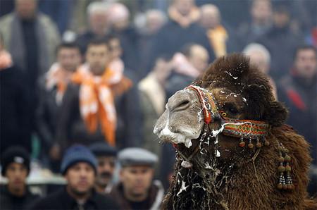 Верблюжьи бои в Турции. — фото 1