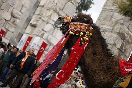 Верблюжьи бои в Турции. — фото 12