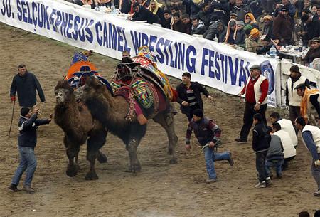 Верблюжьи бои в Турции. — фото 4