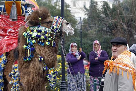 Верблюжьи бои в Турции. — фото 10
