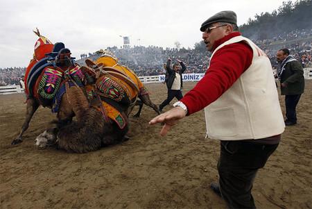 Верблюжьи бои в Турции. — фото 2