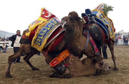 Верблюжьи бои в Турции. — фото 7