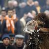 Верблюжьи бои в Турции.